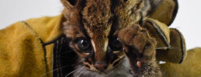 Rescatada cría de tigrillo en el sur del Huila